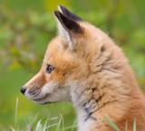fox cub 42