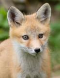 fox cub 43