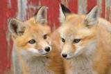 fox cub 46