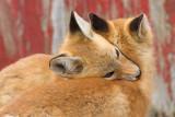 fox cub 47
