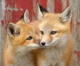 fox cub 48