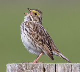 savannah sparrow 53