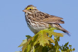 savannah sparrow 54