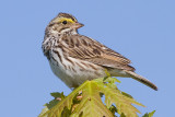 savannah sparrow 55