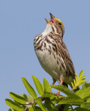 savannah sparrow 57