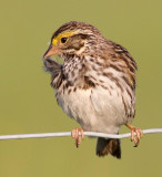 savannah sparrow 56
