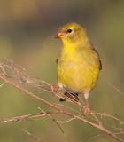 goldfinch 59
