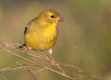 goldfinch 60