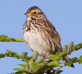 savannah sparrow 58
