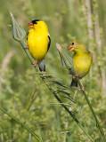 goldfinch 63