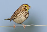 savannah sparrow 61
