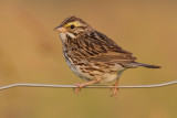 savannah sparrow 63