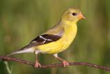 goldfinch 64