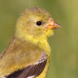 goldfinch 65