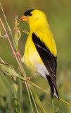 goldfinch 66