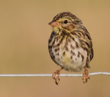 savannah sparrow juvenile 6