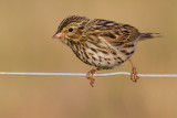 savannah sparrow juvenile 7