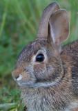 rabbit 17