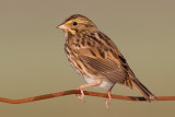 savannah sparrow 65