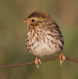 savannah sparrow juvenile 8