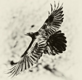 RAVENS FROM DEATH VALLEY