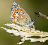 The Silver-studded Blue