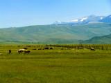 Cows in Bridgeport Valley.jpg