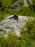 Belding Ground Squirrrel 1.jpg