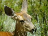 Mule Deer Doe.jpg