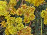 Wild Buckwheat.jpg
