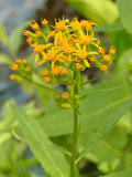 Arrowhead Butterweed.jpg