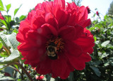 Bumble Bee on Red FlowerSeptember 2, 2011