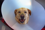 Glinda in Cone a day after Surgery
