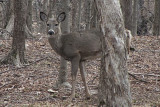 White Tail DeerMarch 19, 2012