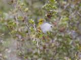 Verdin (Auriparus flaviceps)