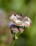 White-patched Skipper (Chiomara georgina)