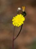 Vätfibbla (Pilosella cymosa ssp. gottlandica)