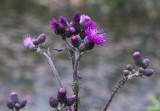 Kärrtistel (Cirsium palustre)