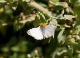 Turk´s-Cap White-Skipper (heliopetes macaira)