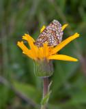 Slåttergubbe (Arnica montana)