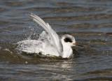 Forster´s Tern (Sterna forsteri)