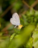 Cyna Blue (Zizula cyna)