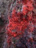 Soldyrkare (Bryobia praetiosa)