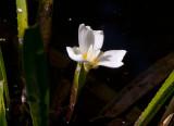 Vattenaloe (Stratiotes aloides)