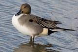 Norther Pintail (Anas acuta)