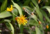 Hagfibbla (Hieracium vulgatum)