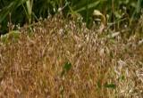 Vägtåg (Juncus bufonius)