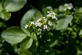 Källfräne (Nasturtium officinale)