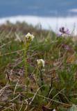 Fjälltrav (Arabis alpina)