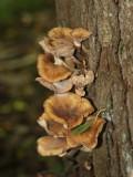 Honungsskivling (Armillaria borealis)